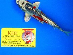 Tategoi-klein 16-20 cm